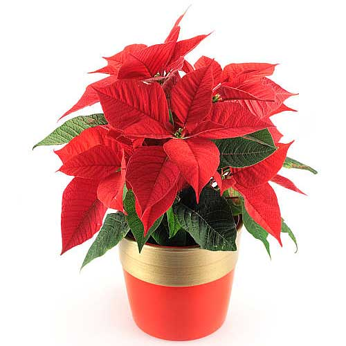 Gorgeous Mexican Poinsettias Holiday Plant